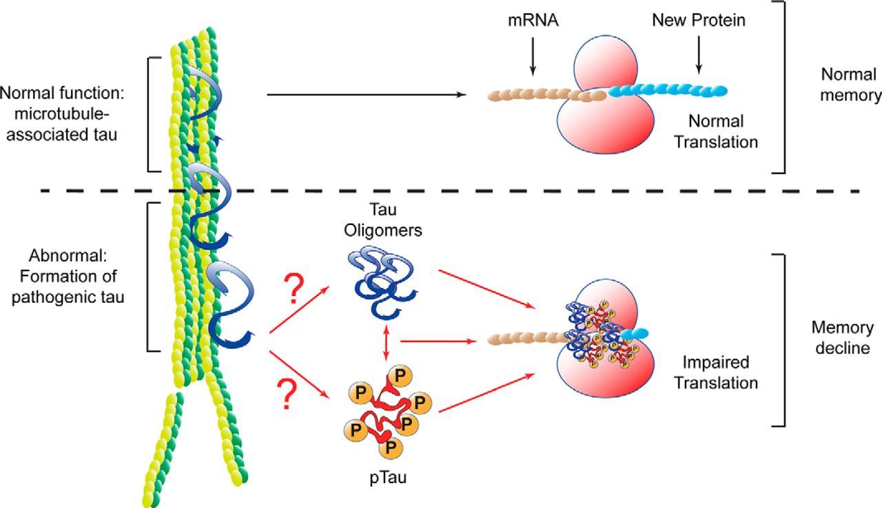 F4.large?width=800&height=600&carousel=1 pathological tau promotes neuronal damage by impairing ribosomal