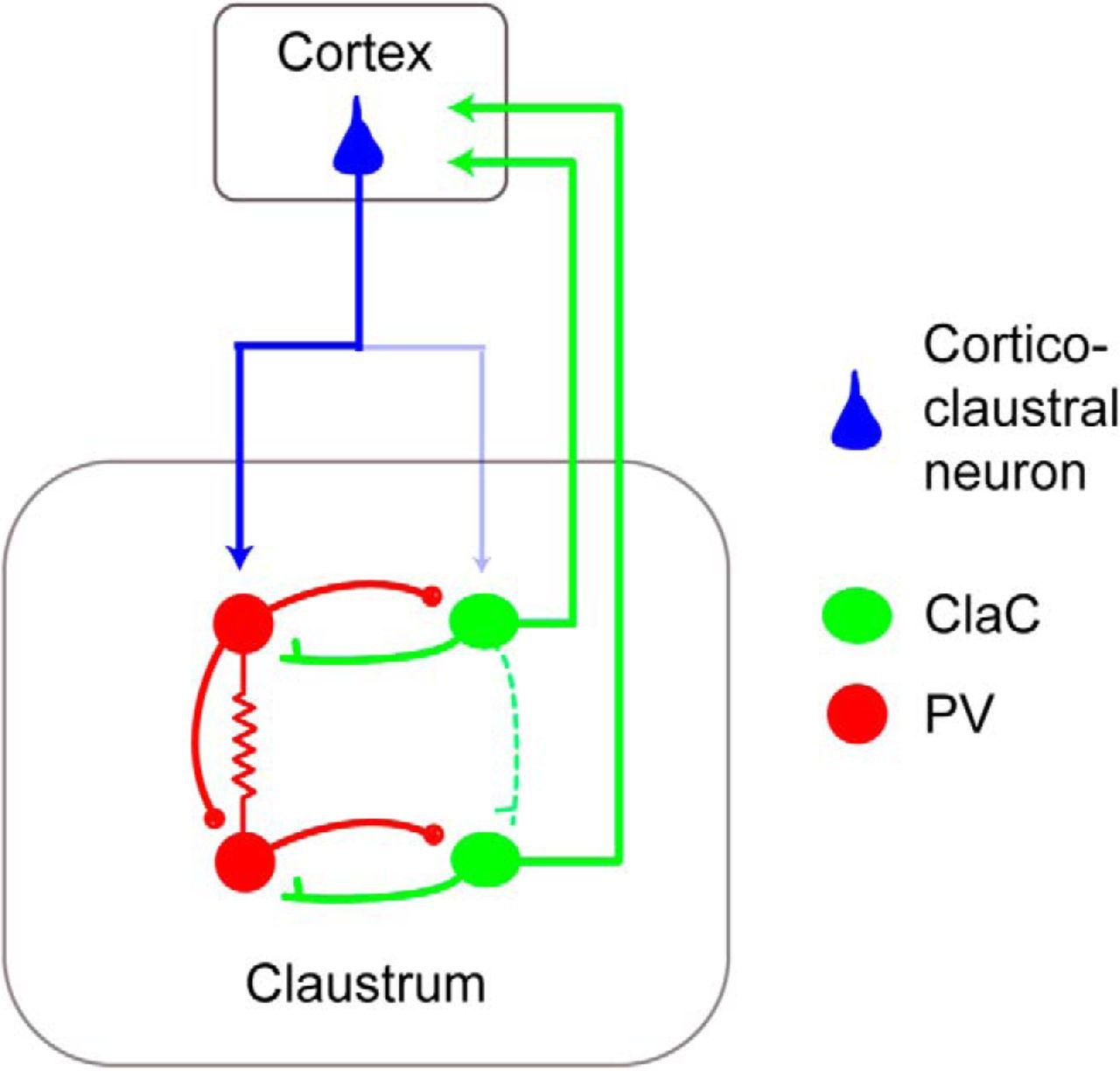 Synaptic Organization Of The Neuronal Circuits Claustrum Anatomy A Short Circuit Open Electrical Download Figure In New Tab