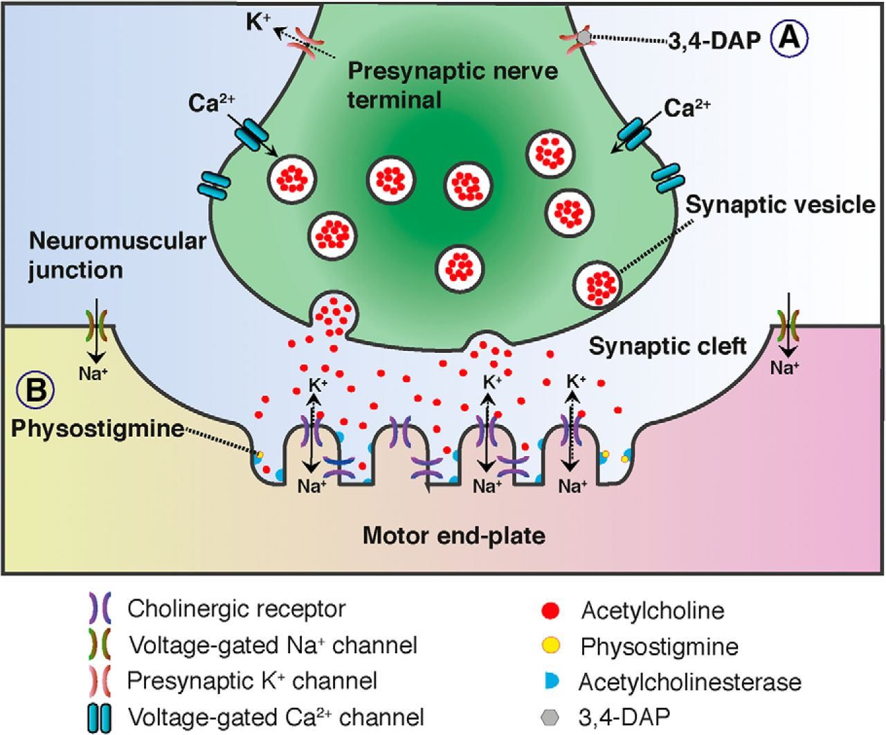 Presynaptic Deficits At Neuromuscular Junctions A Specific Cause