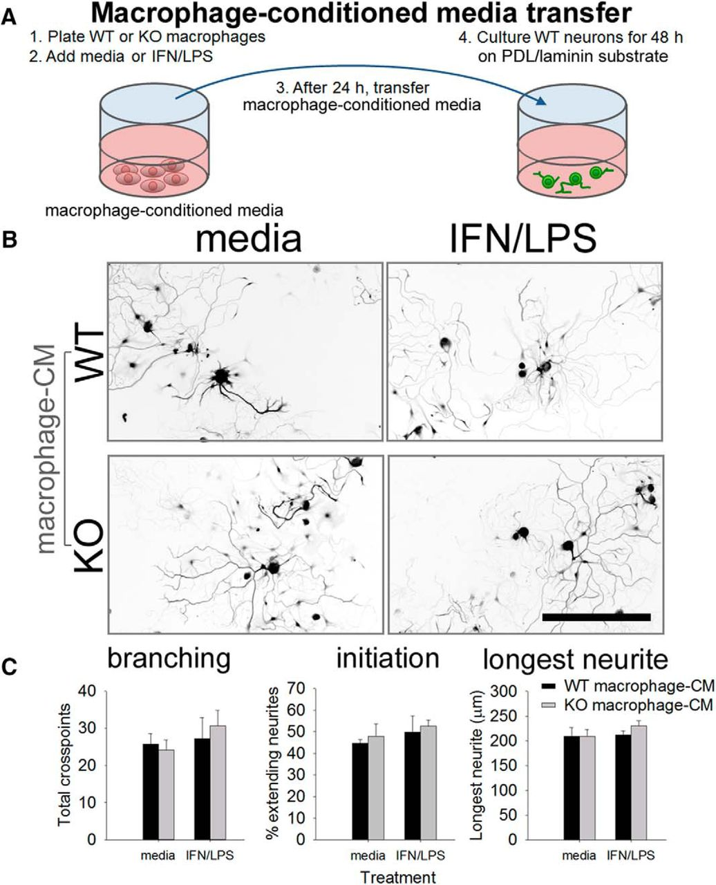 miR-155 Deletion in Mice Overcomes Neuron-Intrinsic and