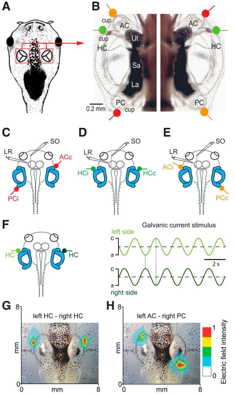 Galvanic Vestibular Stimulation Cellular Substrates And Response