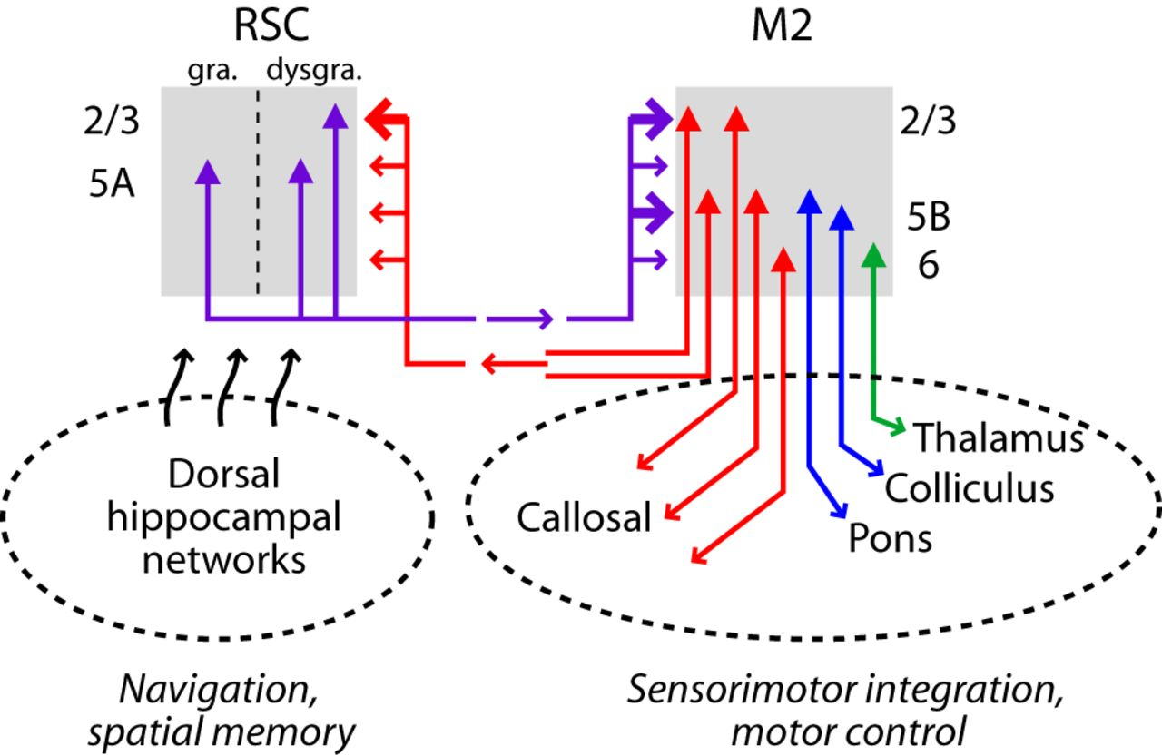 A Corticocortical Circuit Directly Links Retrosplenial Cortex To M2 Logic Diagram In Powerpoint Figure 9 Schematic Of Rscm2