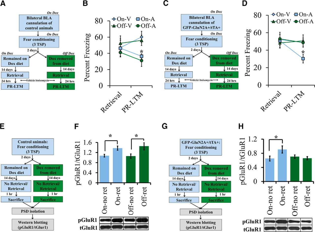 Increasing The Glun2a Glun2b Ratio In Neurons Of Mouse Basal And Bricklet Parallel To Anexisting Switch Such That We Can Bypass It Download Figure