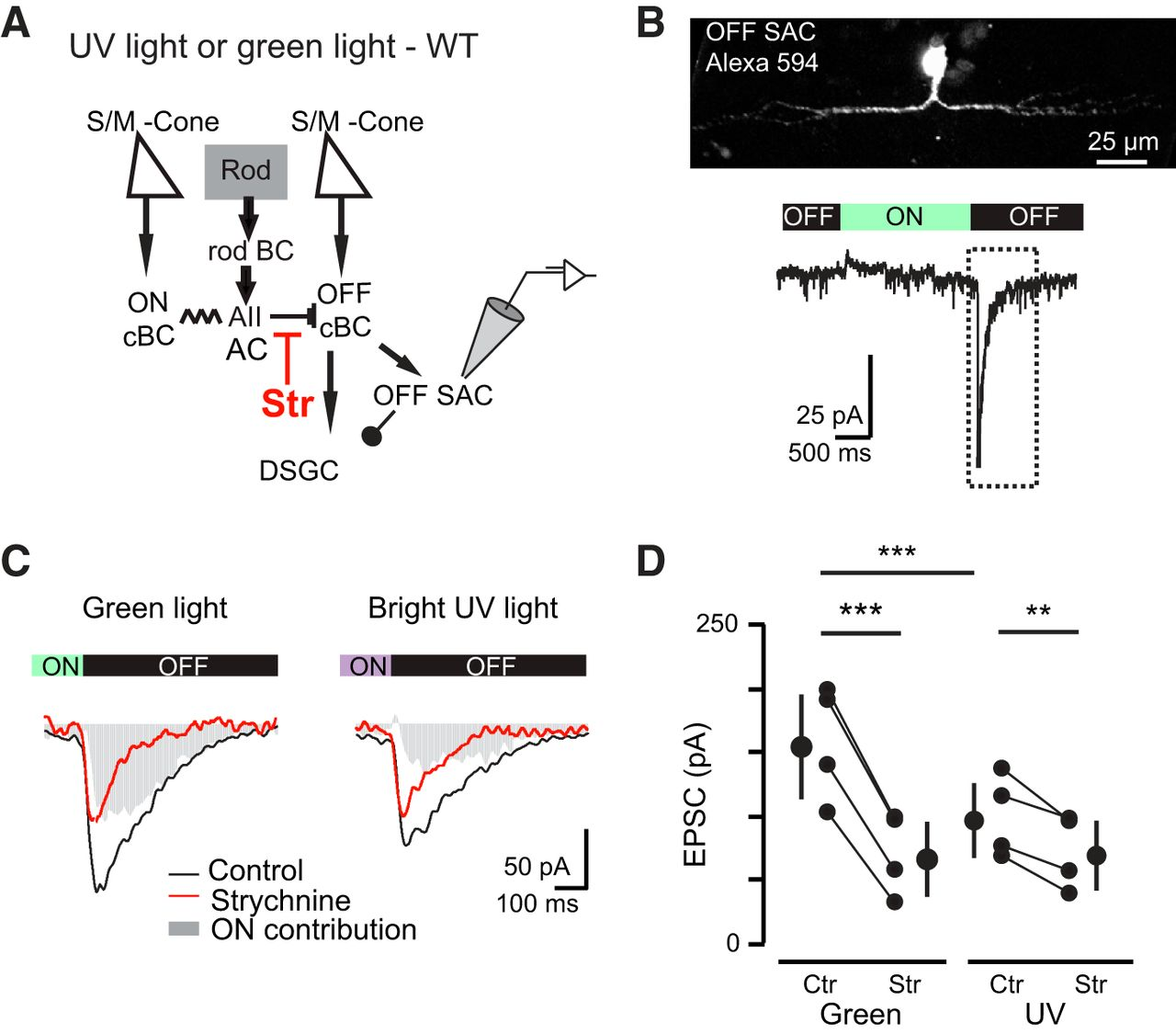 contributions of rod and cone pathways to retinal