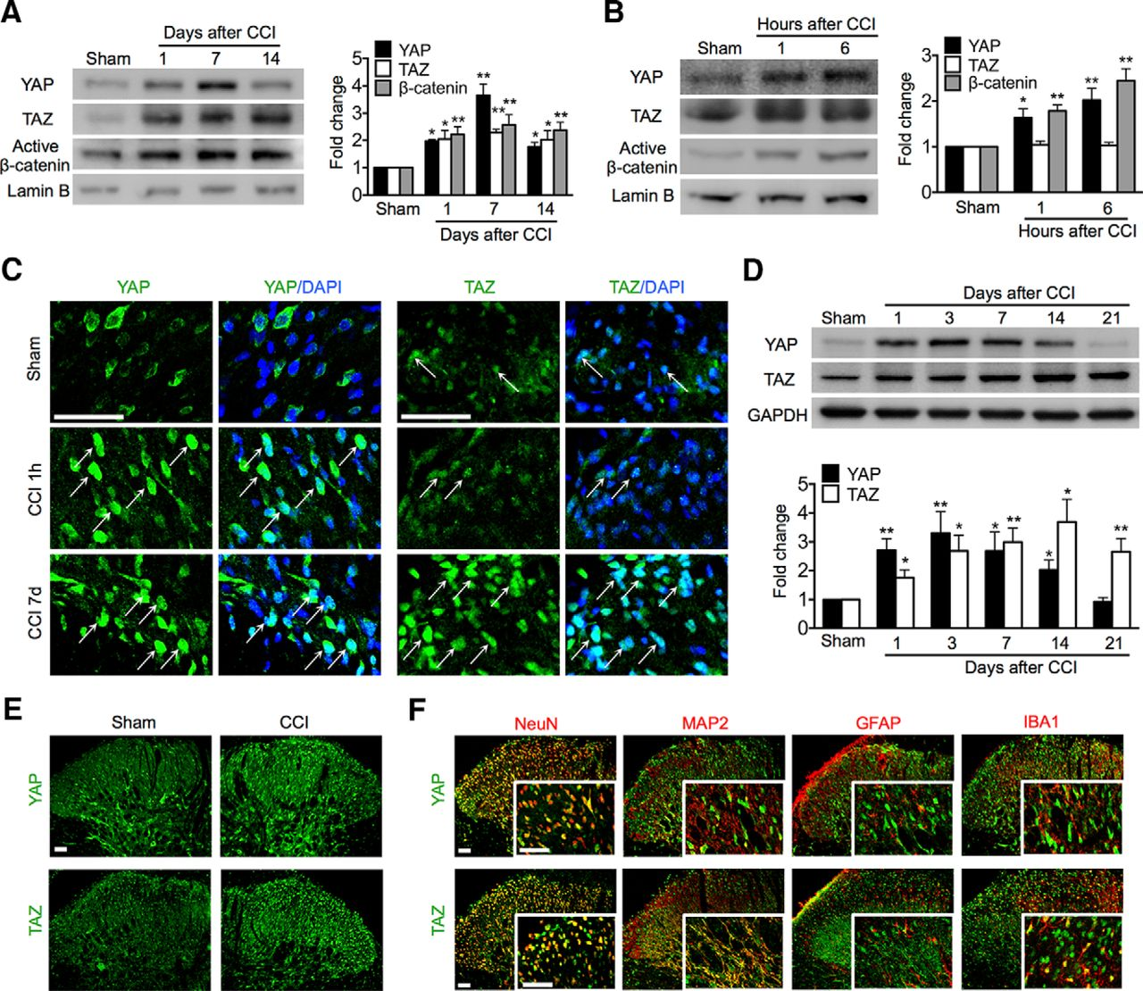 Inhibition Of Yap Taz Activity In Spinal Cord Suppresses Neuropathic Pure Apnea Level 1 Course Download Figure