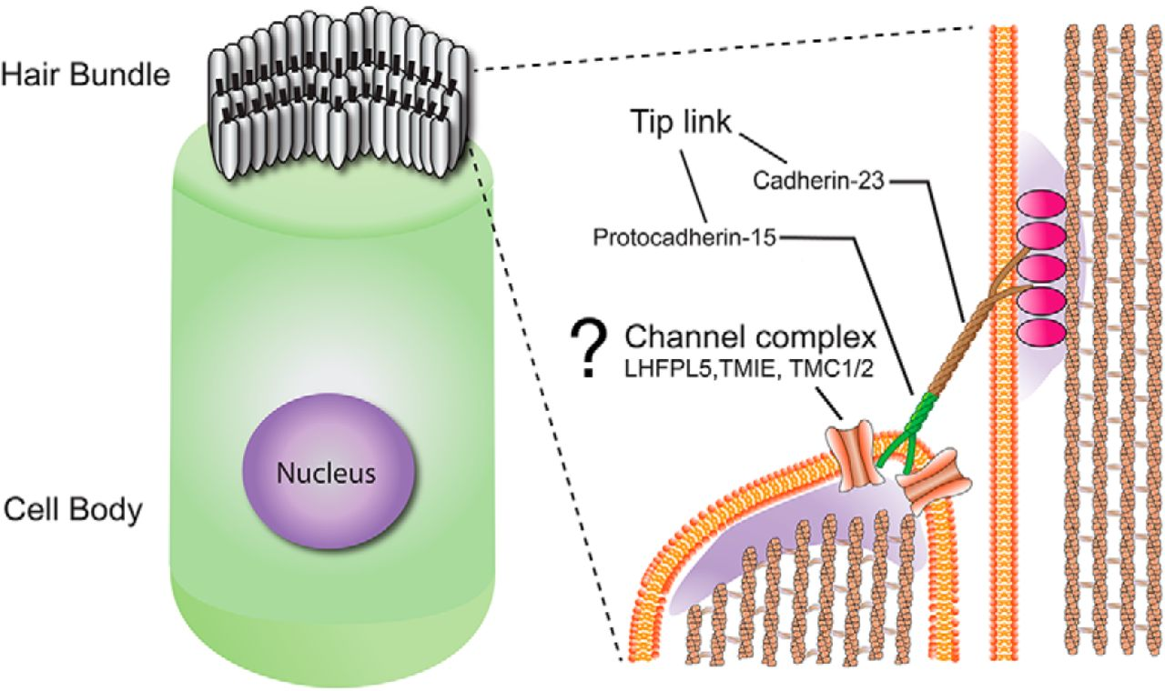 molecular identity of the mechanotransduction channel in hair cells Hair Cell Art