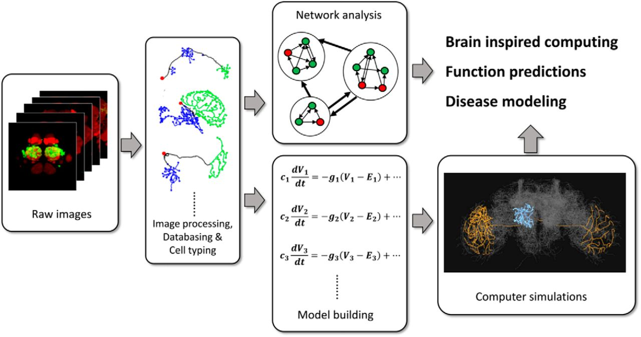 Toward Whole Body Connectomics Journal Of Neuroscience Scientists Create Circuit Board Modeled On The Human Brain W Video Download Figure