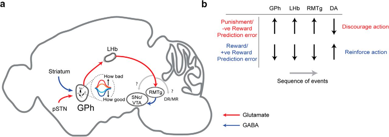 The Lateral Habenula Circuitry: Reward Processing and