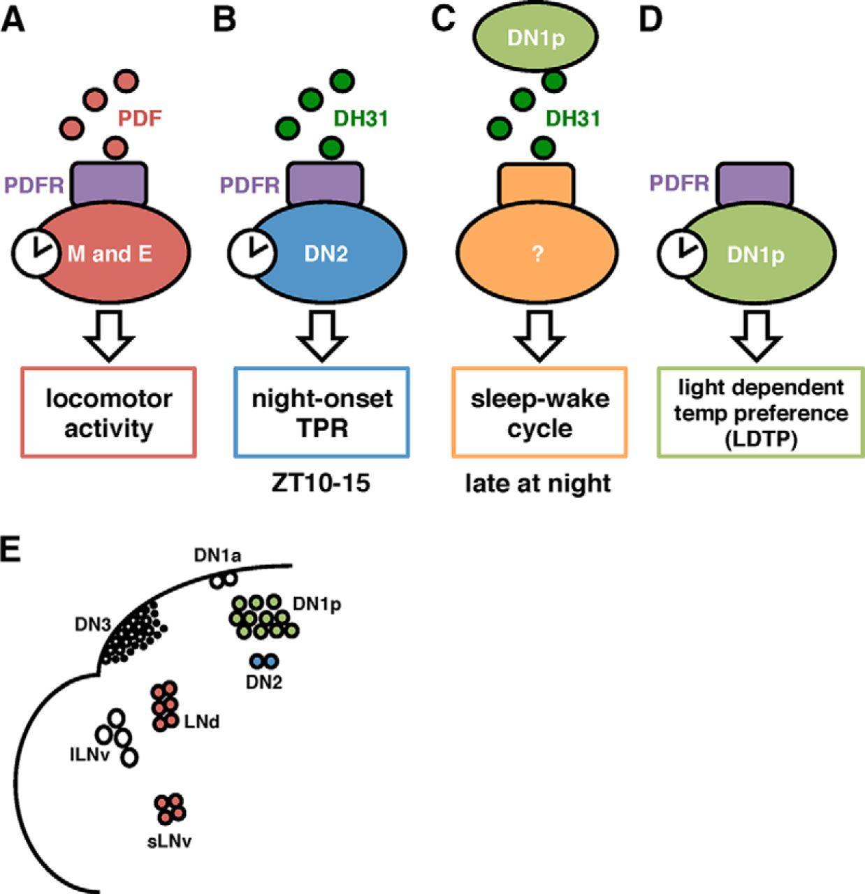 Drosophila DH31 Neuropeptide and PDF Receptor Regulate Night
