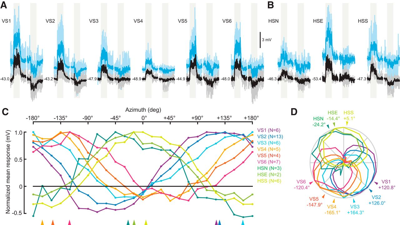 An Array of Descending Visual Interneurons Encoding Self