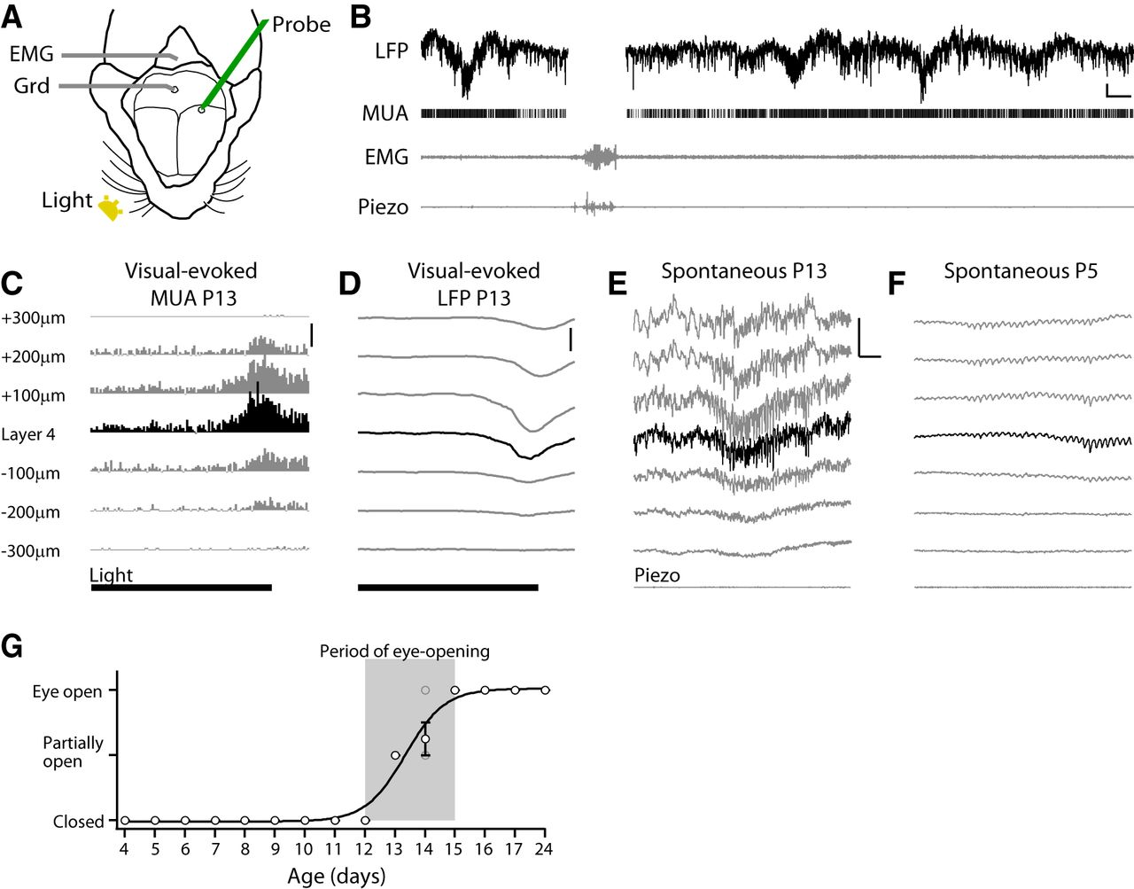 Development Of Activity In The Mouse Visual Cortex Journal Emg Wiring Diagram Archive Download Figure