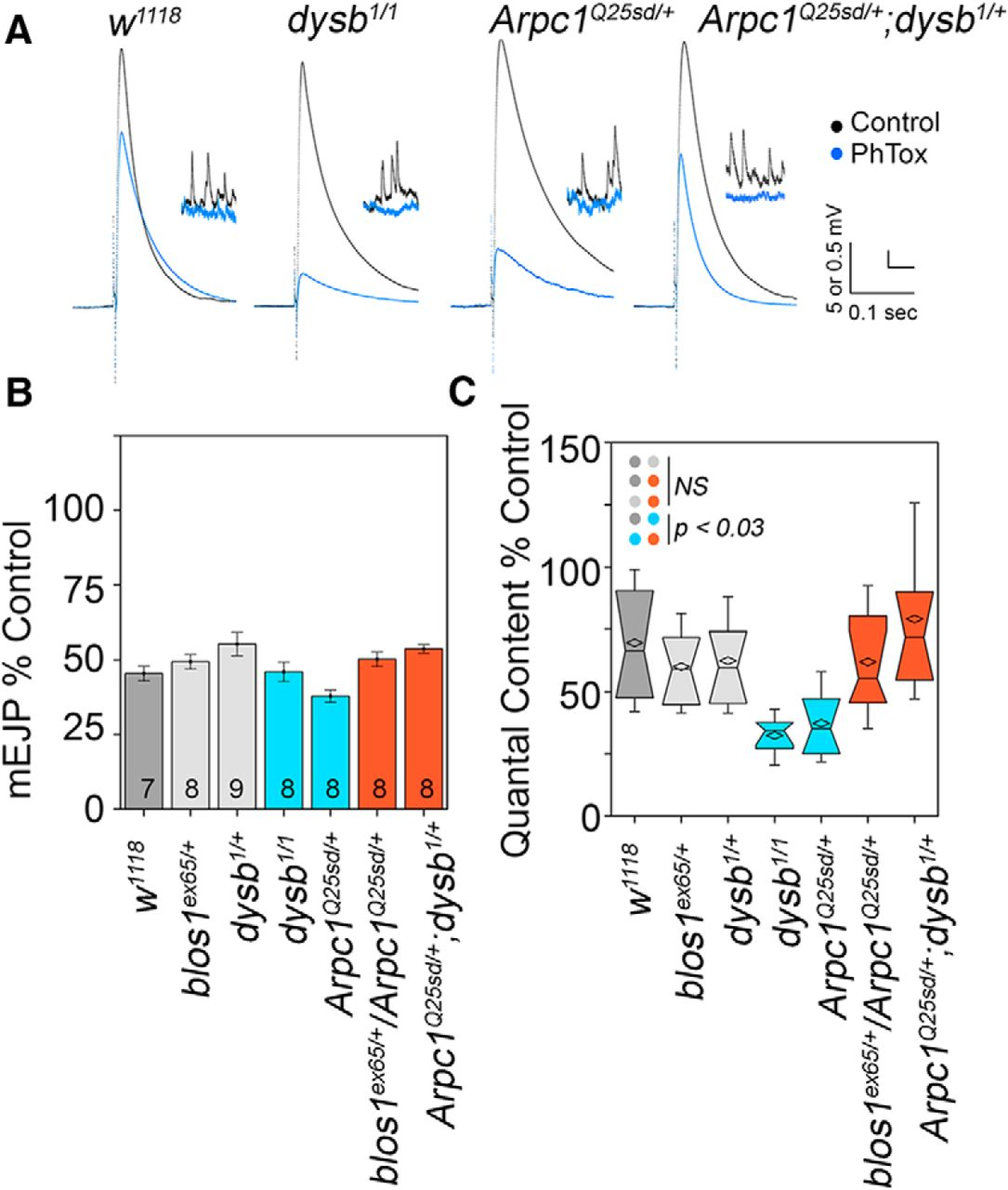 The Proteome of BLOC-1 Genetic Defects Identifies the Arp2/3