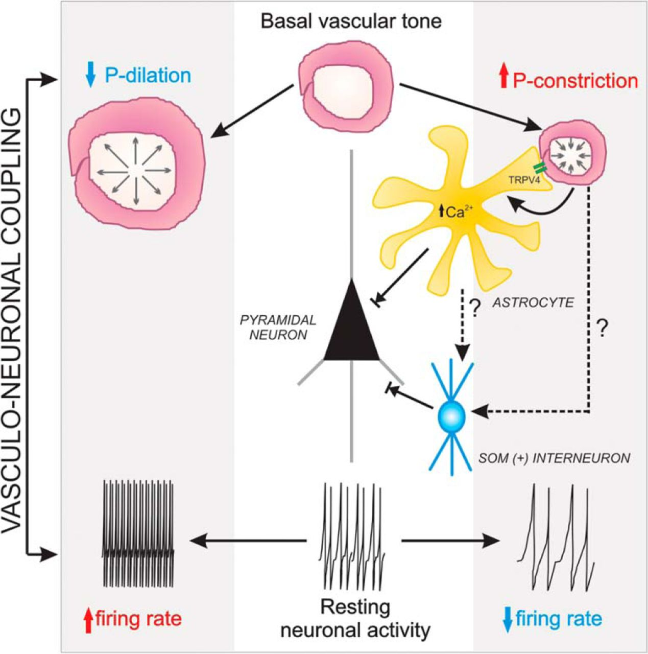 Vasculo neuronal coupling retrograde vascular communication to download figure ccuart Choice Image