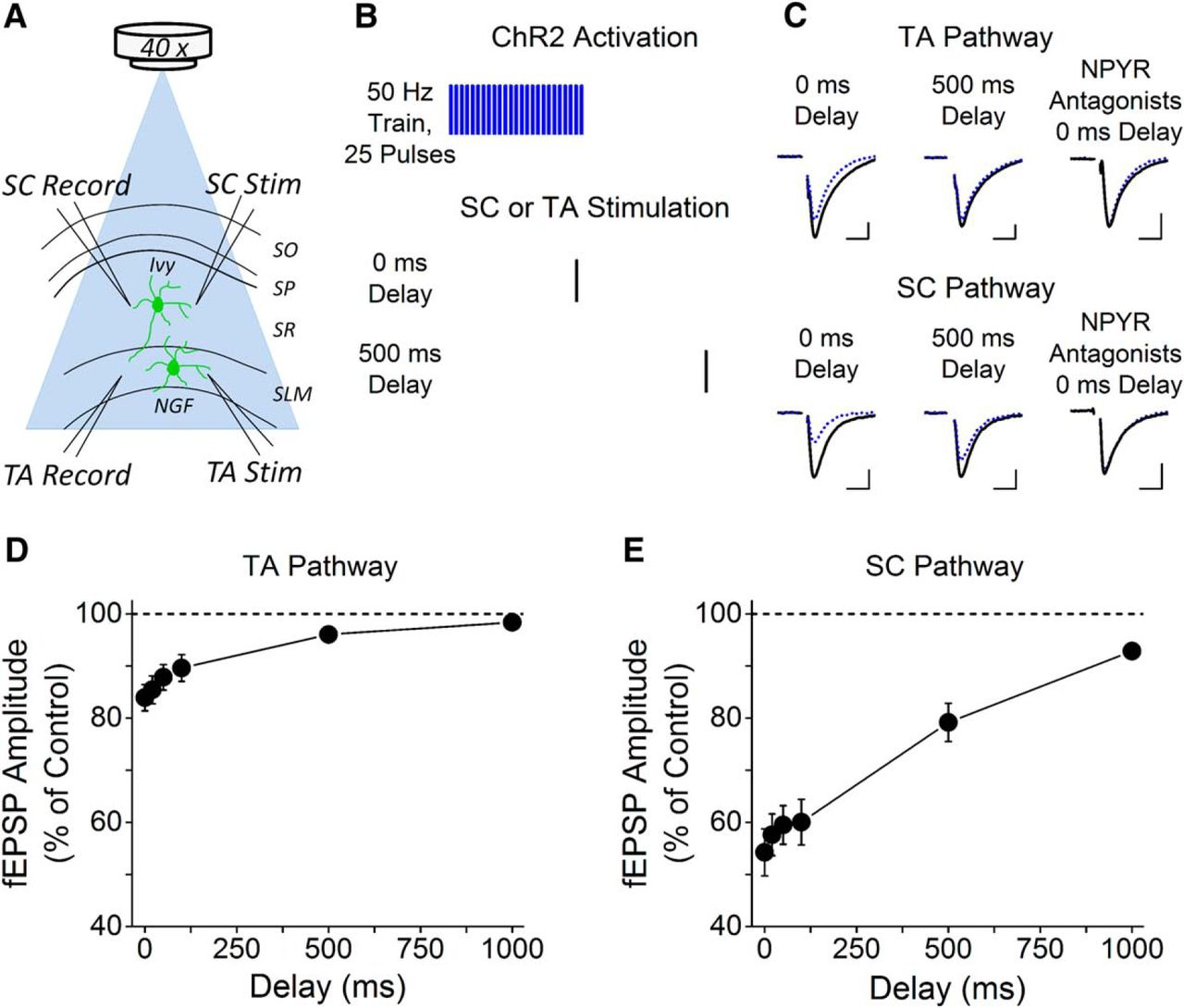 Endogenously released neuropeptide y suppresses hippocampal short download figure ccuart Gallery
