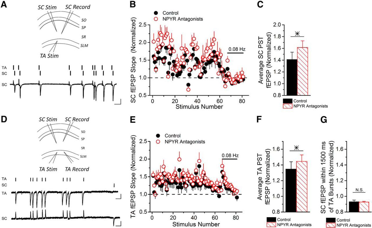 Endogenously released neuropeptide y suppresses hippocampal short download figure ccuart Choice Image