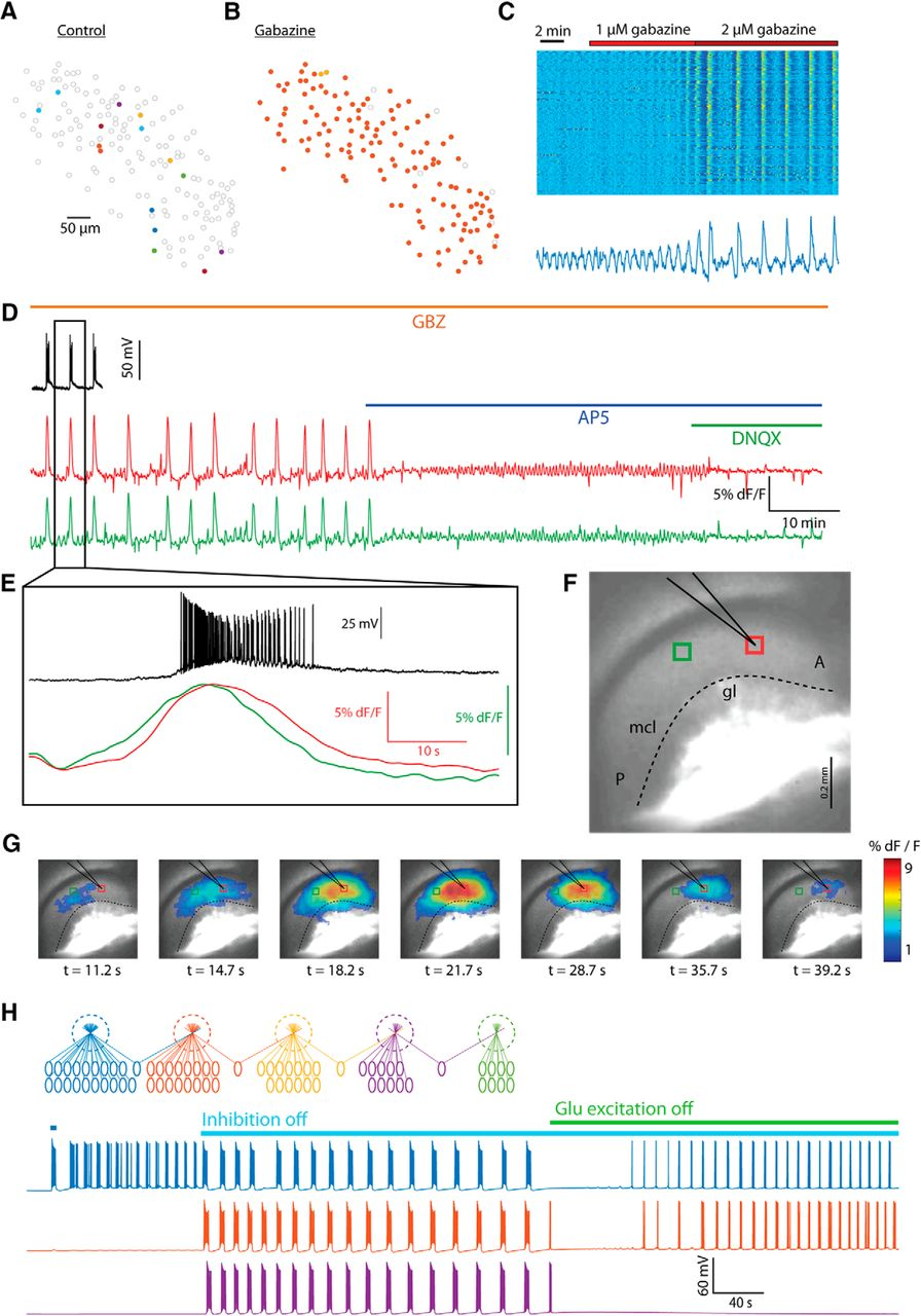 Synchronous Infra Slow Bursting In The Mouse Accessory Olfactory