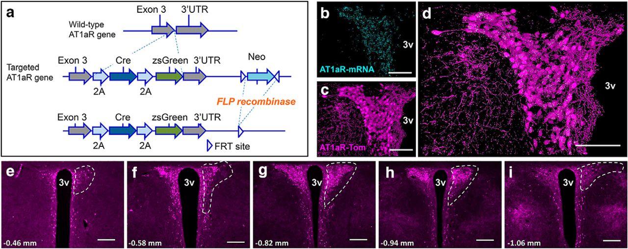 "A Unique ""Angiotensin-Sensitive"" Neuronal Population Coordinates ... 5d05d4290c"