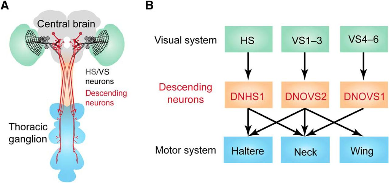 Descending Neurons In Drosophila Bridging The Gap Between Vision