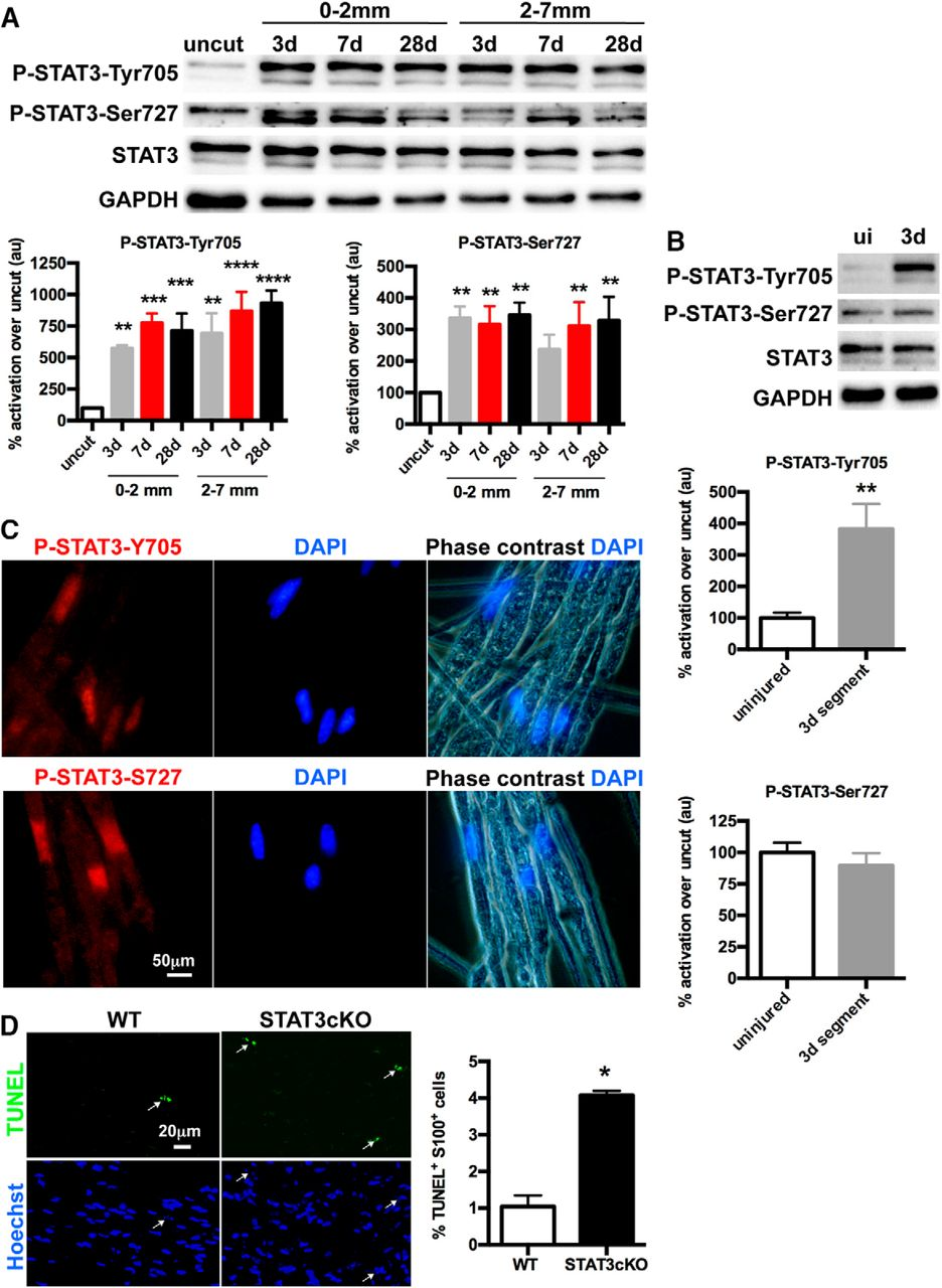 STAT3 Controls the Long-Term Survival and Phenotype of