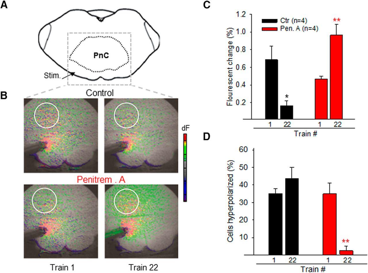 BK Channels Mediate Synaptic Plasticity Underlying