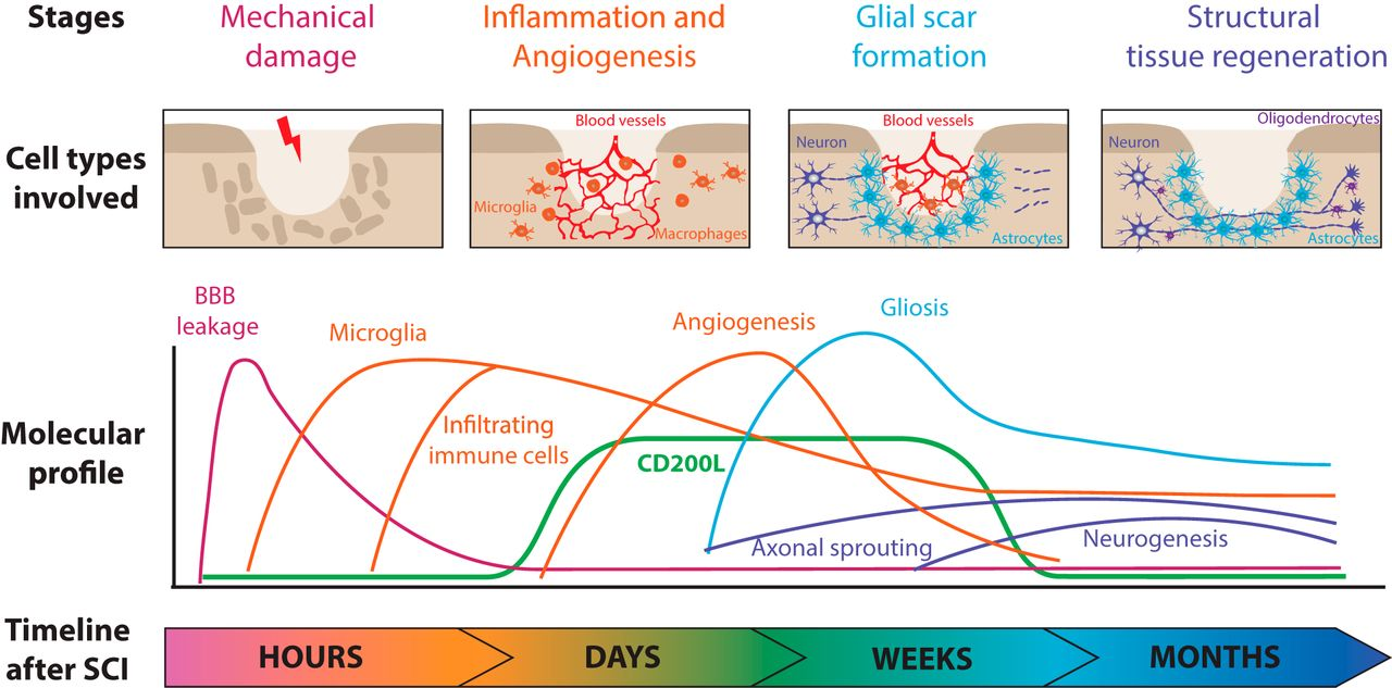 Insights into the dual role of inflammation after spinal cord download figure sciox Images
