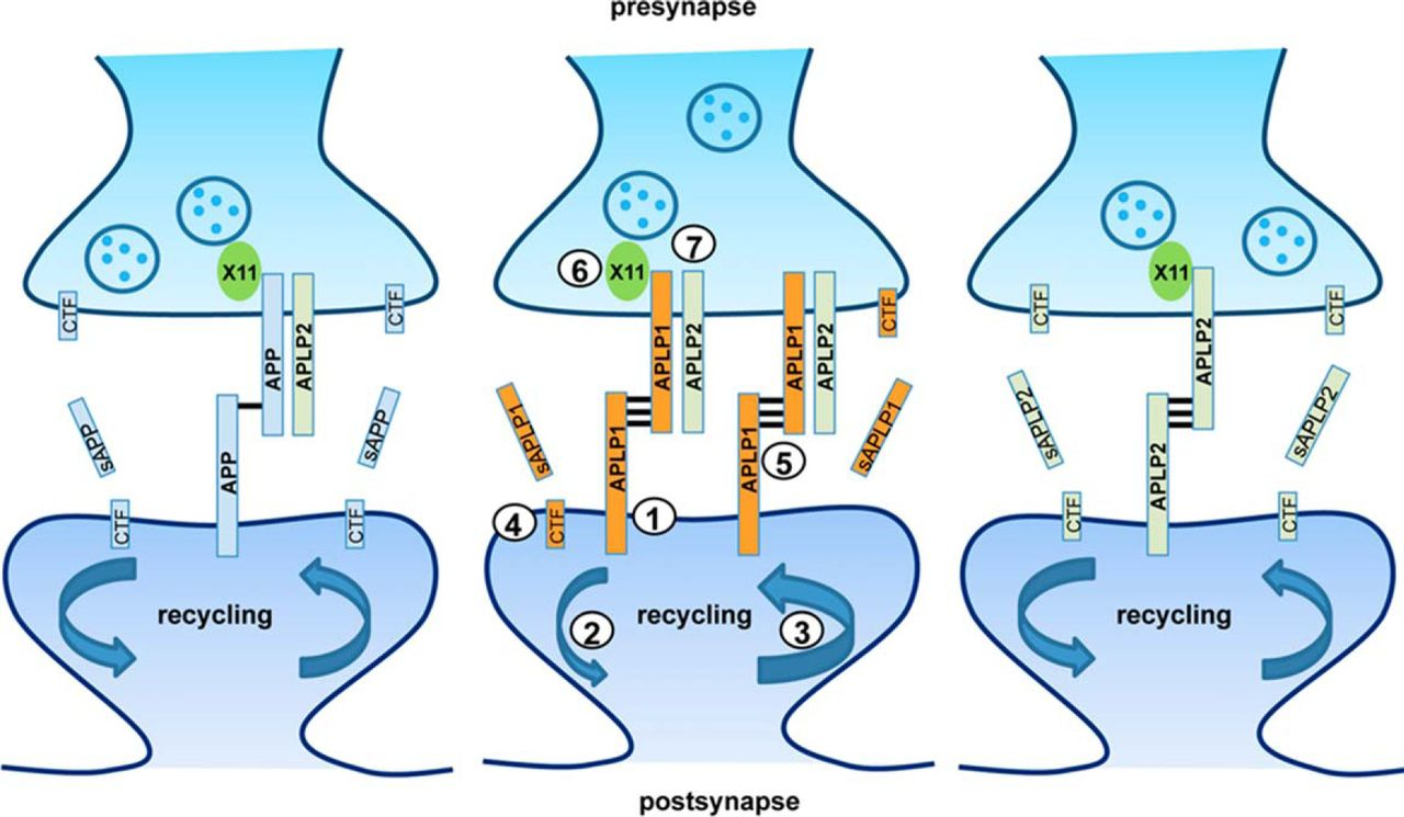 APLP1 Is a Synaptic Cell Adhesion Molecule, Supporting