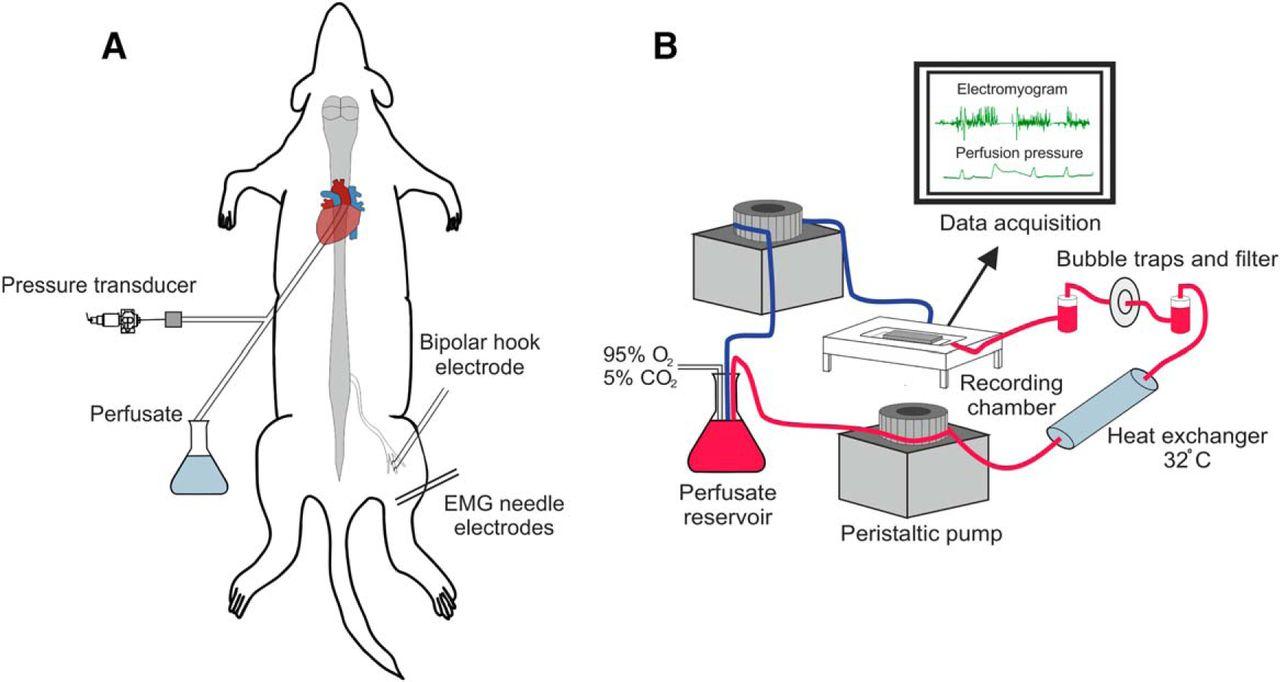 Figure 1 Descending Systems Direct Development Of Key Spinal Block Diagram The Emg Sensor Download