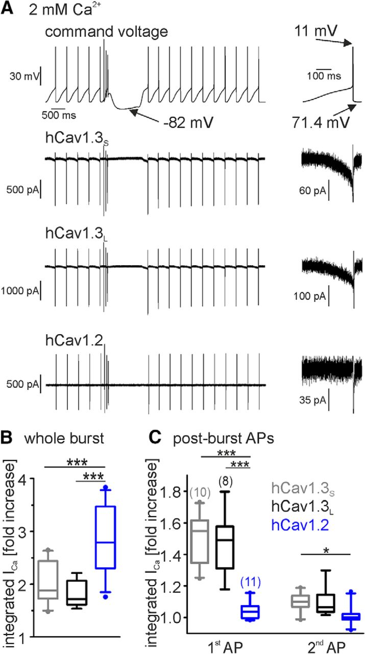 Lower Affinity of Isradipine for L-Type Ca2+ Channels during