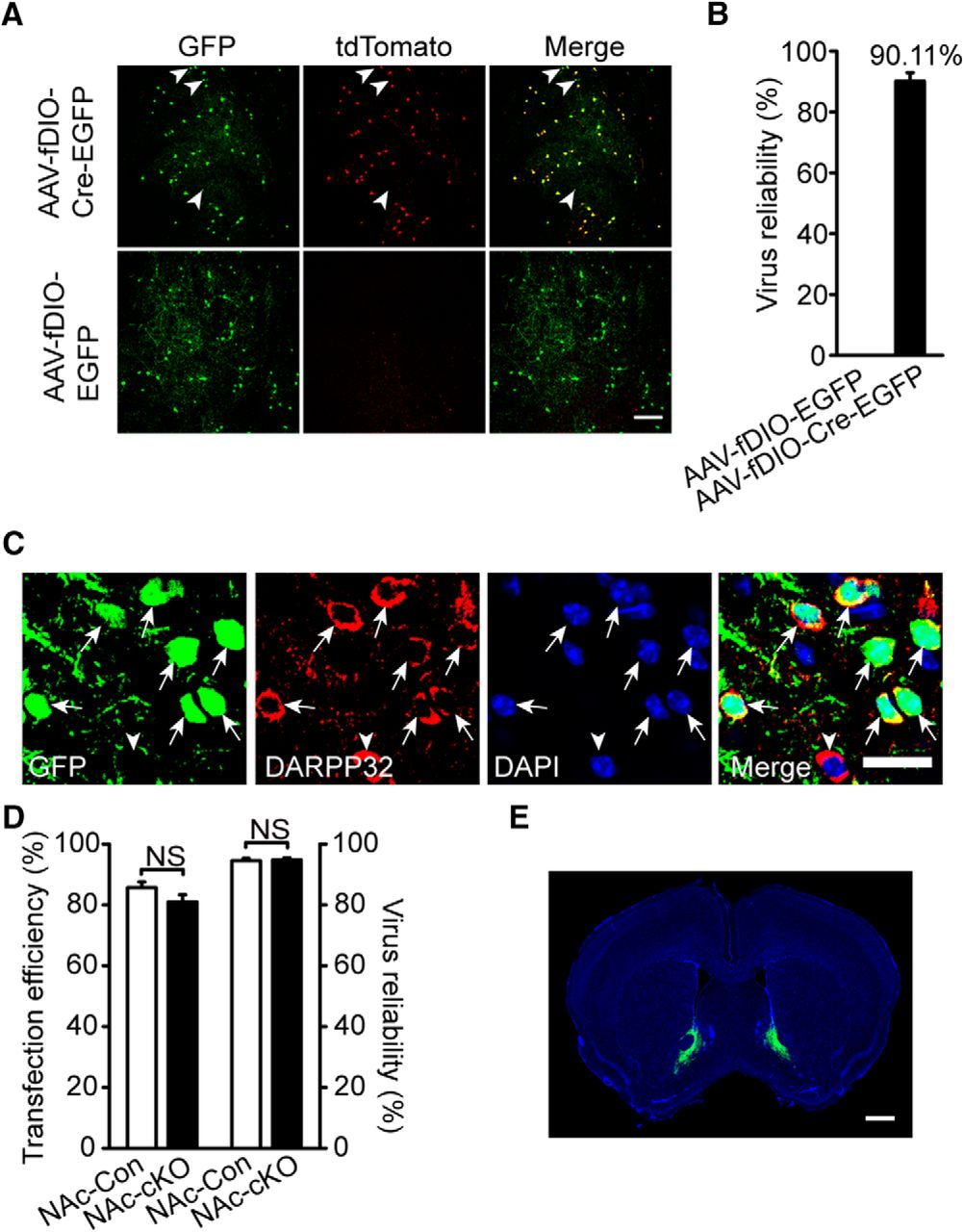 Erbb4 Deletion from Medium Spiny Neurons of the Nucleus Accumbens