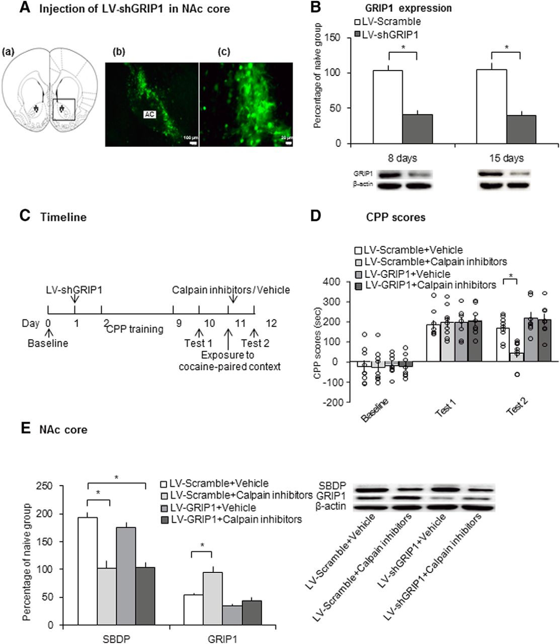 Calpain Grip Signaling In Nucleus Accumbens Core Mediates The Plan B Electrical Whistler Download Figure