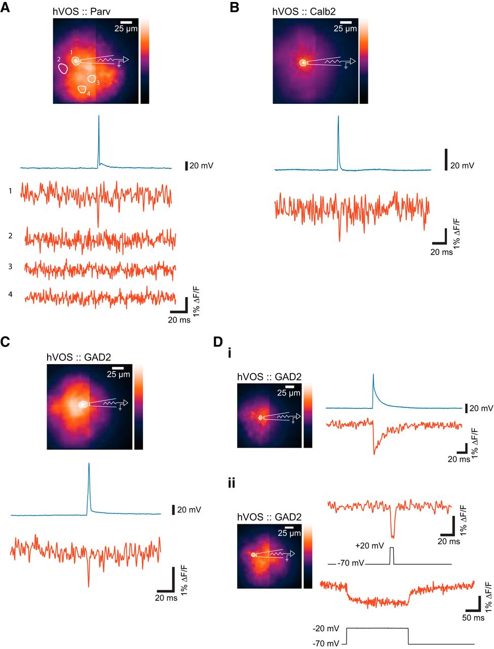Imaging Voltage In Genetically Defined Neuronal Subpopulations With Figure 3 38 Comparison A Parallel Circuit Download