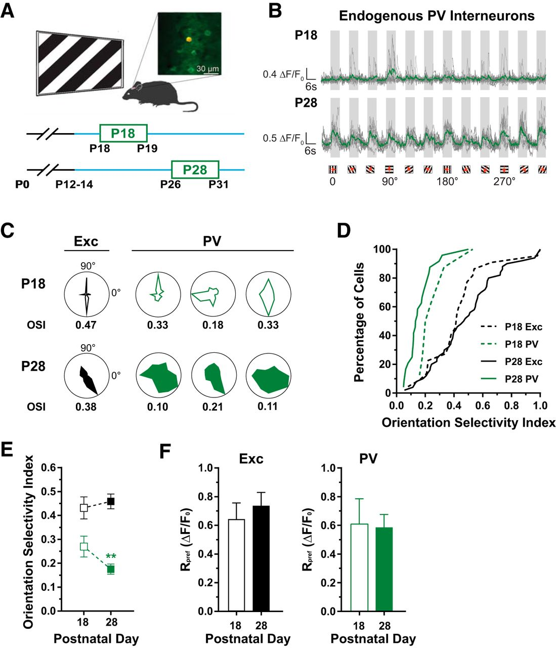 contribution of innate cortical mechanisms to the maturation of
