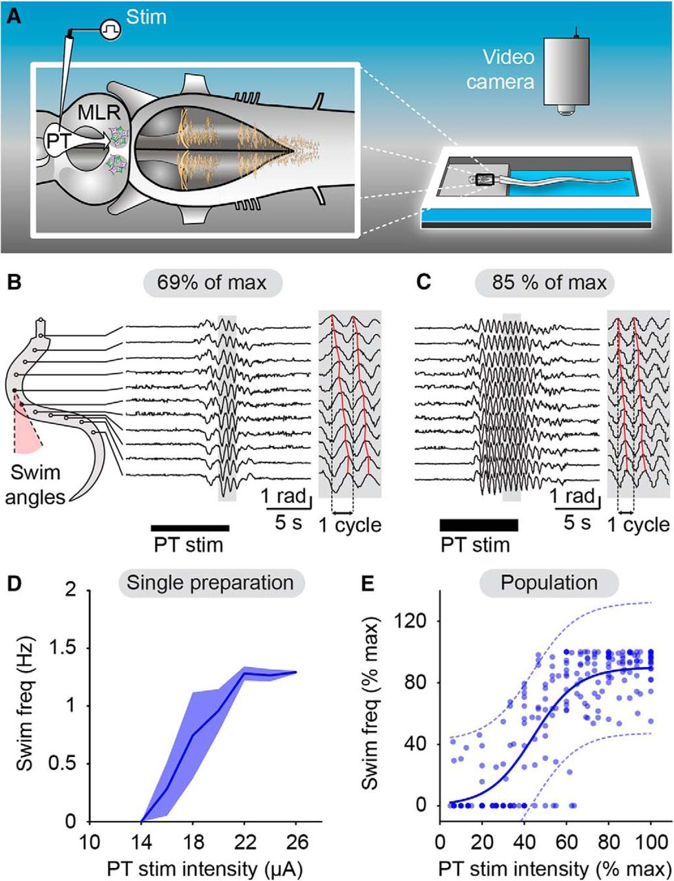 Nigral Glutamatergic Neurons Control The Speed Of Locomotion Schematic Cutaway Showing Slide Cycle And Case Ejection Download Figure