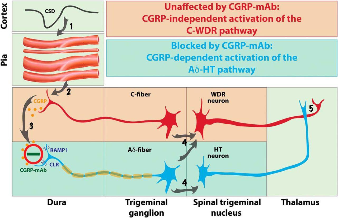 1e3a44028de6 Fremanezumab—A Humanized Monoclonal Anti-CGRP Antibody—Inhibits ...