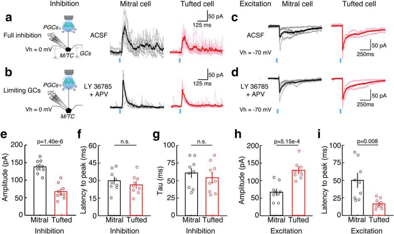 Differences in Glomerular-Layer-Mediated Feedforward Inhibition ...