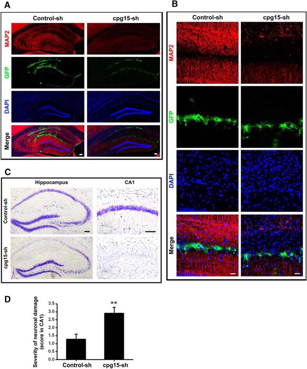 Soluble Cpg15 From Astrocytes Ameliorates Neurite Outgrowth Recovery