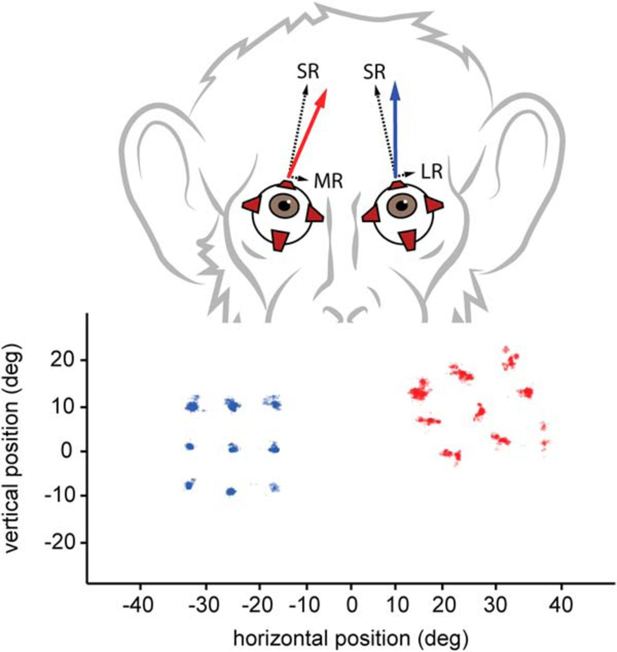 Normal Topography and Binocularity of the Superior Colliculus in