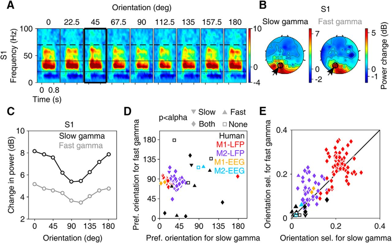 Large Visual Stimuli Induce Two Distinct Gamma Oscillations