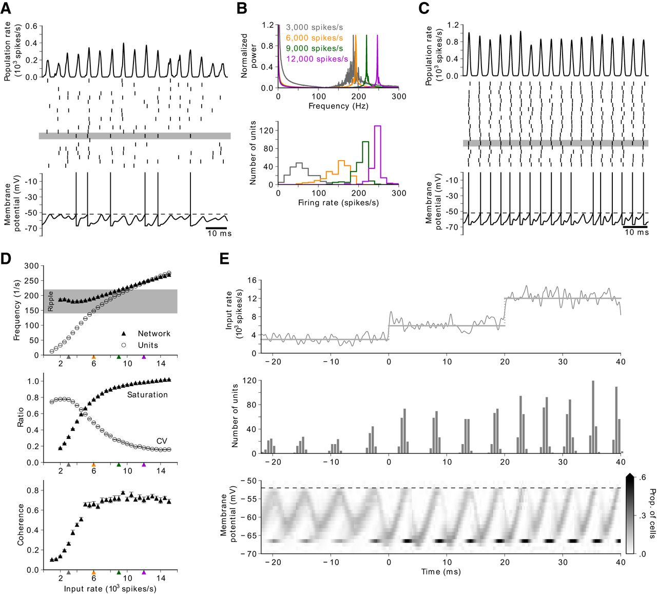 Hippocampal Ripple Oscillations And Inhibition First Network Models