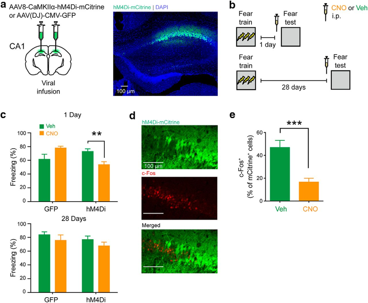 Elevation of Hippocampal Neurogenesis Induces a Temporally