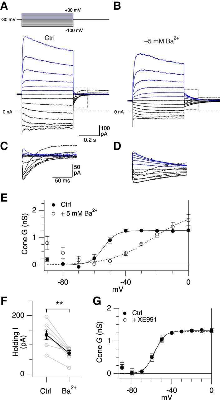 Heteromeric Kv2kv82 Channels Mediate Delayed Rectifier Potassium