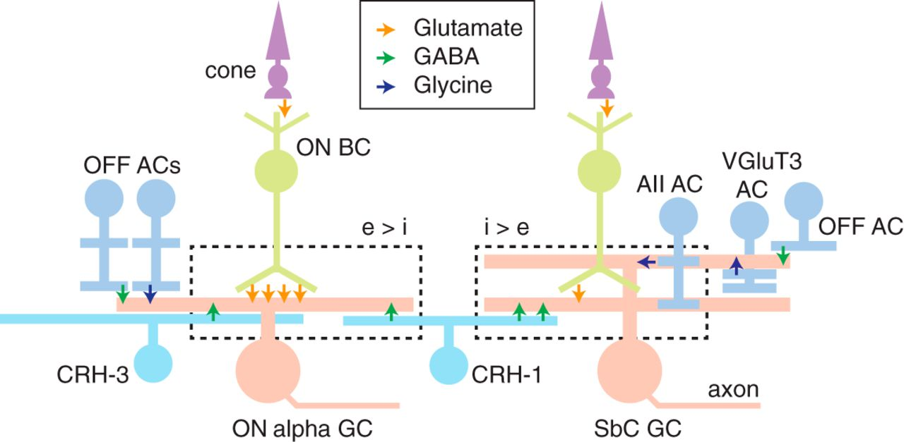 Convergence and divergence of crh amacrine cells in mouse retinal download figure ccuart Choice Image
