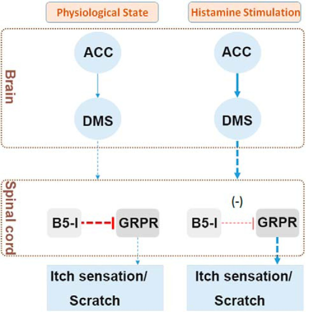 ACC to Dorsal Medial Striatum Inputs Modulate Histaminergic Itch