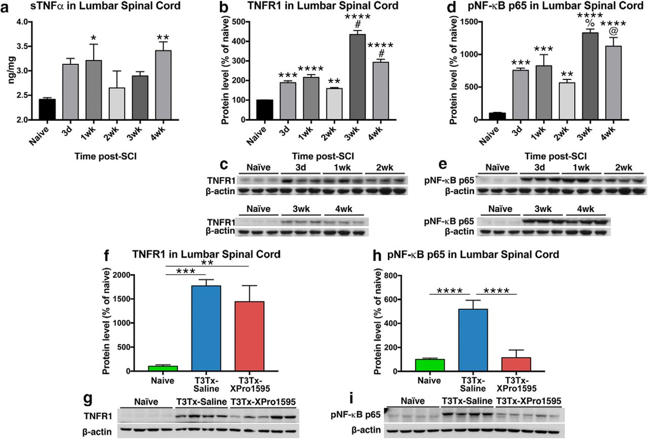 Soluble TNFα Signaling within the Spinal Cord Contributes to the ...