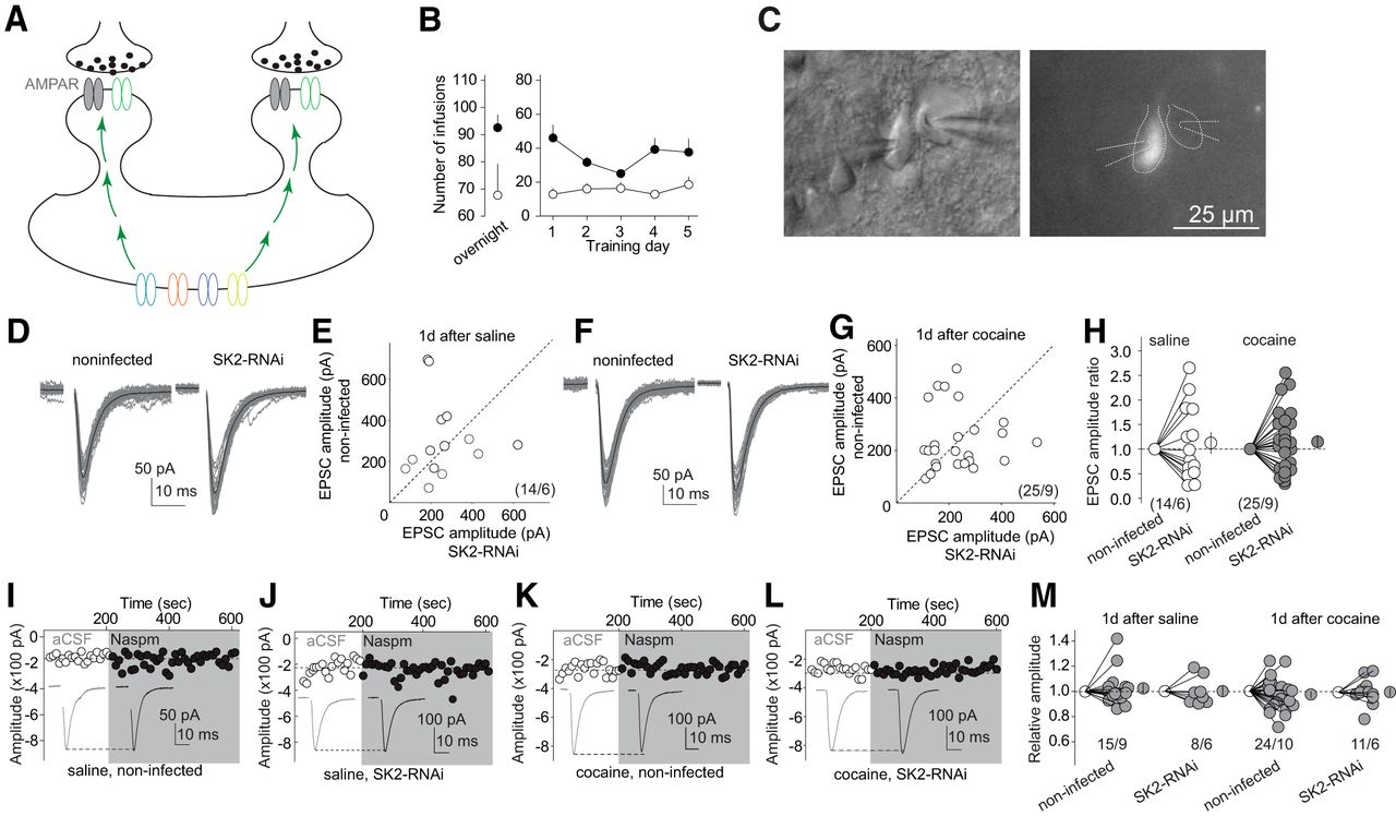 Cascades Of Homeostatic Dysregulation Promote Incubation Cocaine Above Is A Schematic Diagram An Lm741 Light Dark Sensor Circuit Download Figure