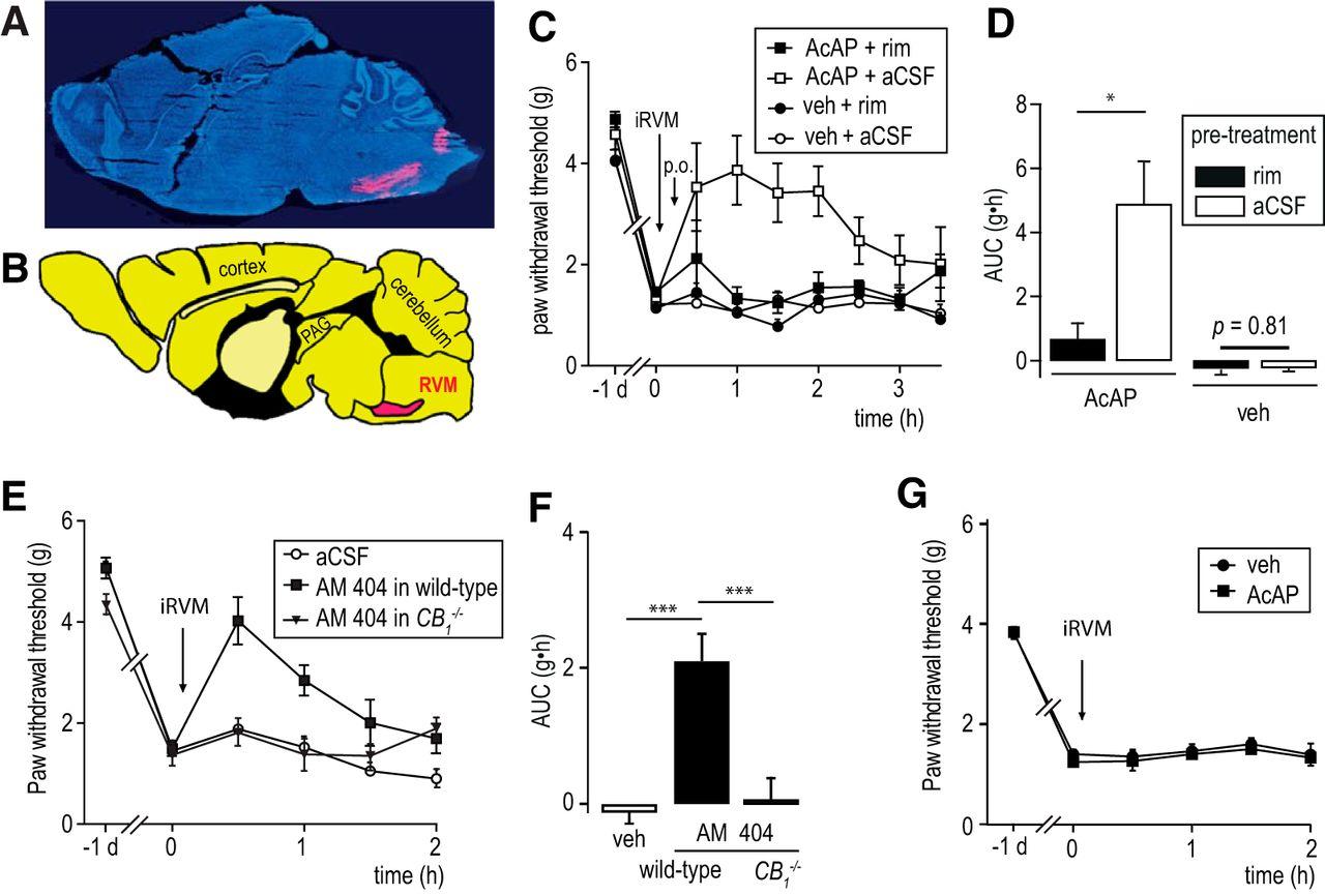 Acetaminophen Relieves Inflammatory Pain Through Cb1 Cannabinoid Pj Rims Wiring Diagram Download Figure