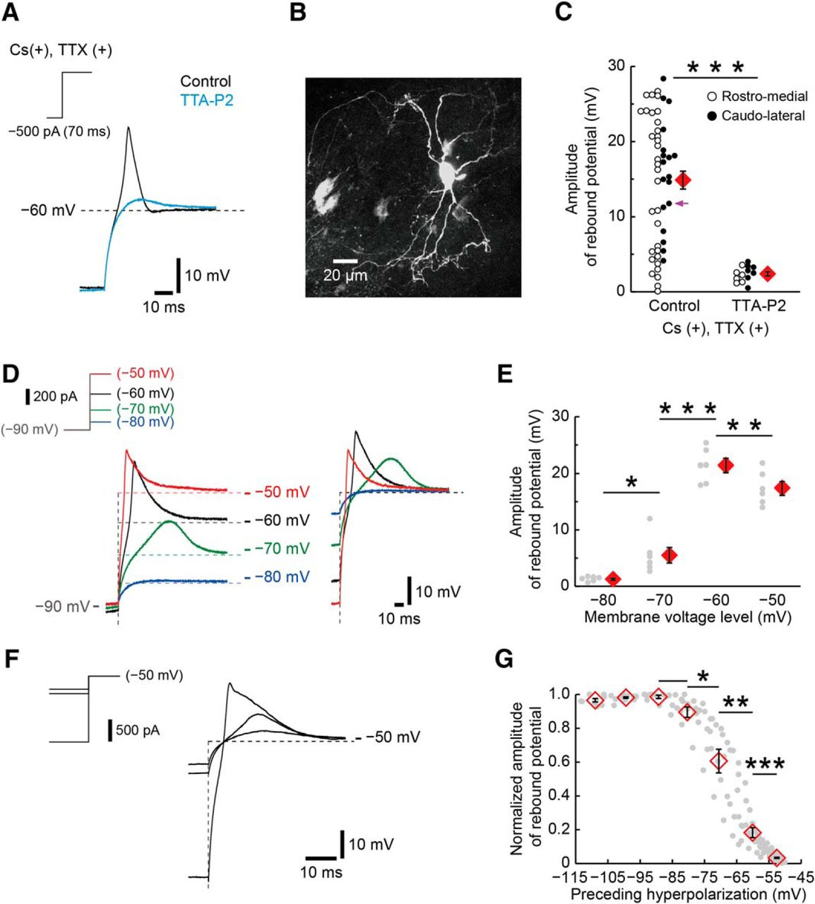 Tonotopic Variation of the T-Type Ca2+ Current in Avian