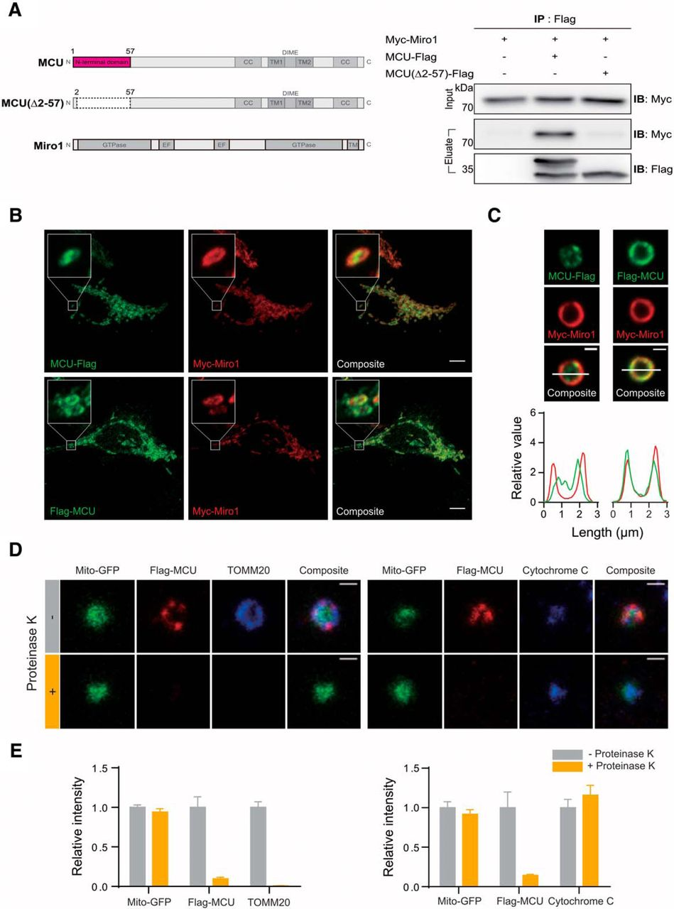 MCU Interacts with Miro1 to Modulate Mitochondrial Functions