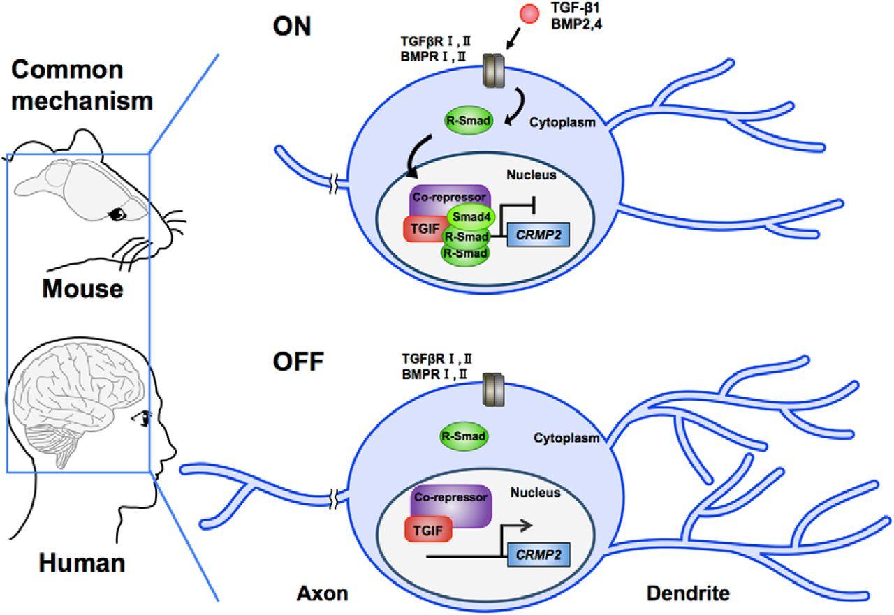 Canonical Tgf Signaling Negatively Regulates Neuronal Suzuki Gn 125 Electric Circet Pdf Download Figure