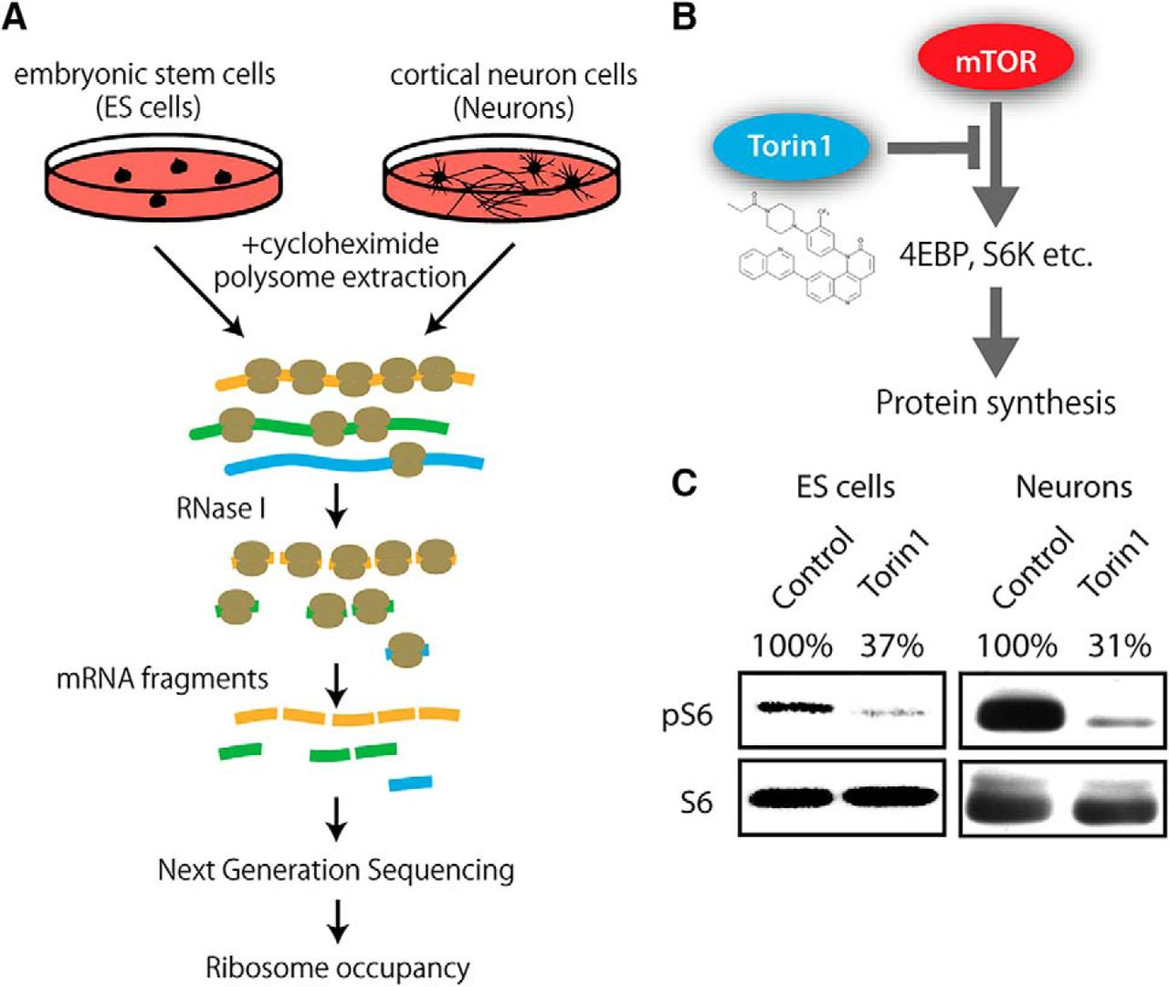 F1.large palladin is a neuron specific translational target of mtor signaling